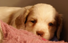 Clumber Spaniel Welpen - puppies